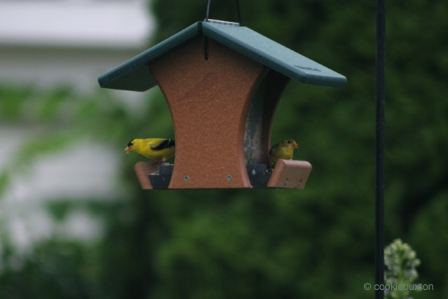 1507_193_8586_Goldfinch