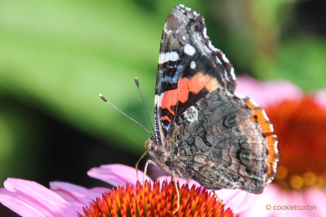 1508_199_9321_red_admiral