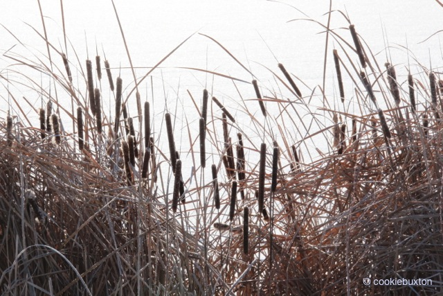 1603_079_1198_Cattails