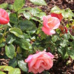 Pink roses after rainfall in Blenheim Palace rose garden