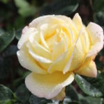 Yellow rose with water droplets in Blenheim Palace garden