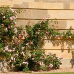 Climbing roses at Stowe House